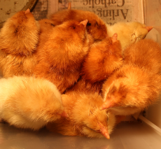 Kindergarten hatched chicks