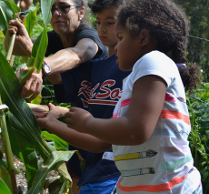 Students harvest from the three sisters garden